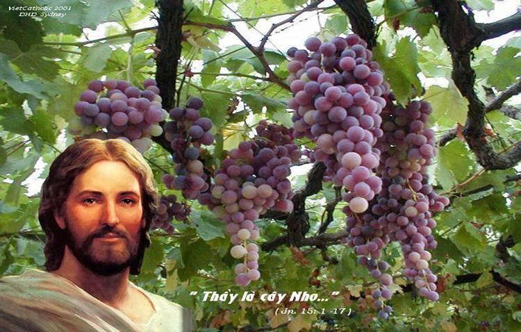 Ở lại với Chúa để được sống và sinh hoa kết quả dồi dào. Suy niệm Tin mừng CN 5 PS